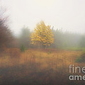 Yellow Leaves Of Tree In Fog At Dolly Sods by Dan Friend