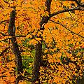 Yellow Leaves by Robert Mitchell