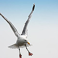 Yellow-legged Gull by Jan Brons