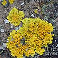Yellow Lichen by Loreta Mickiene