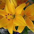 Yellow Lilies by Terri Maddin-Miller