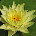 yellow lilly I by Janine Connolly