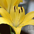 Yellow Lilly by Lori Tordsen