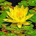 Yellow Lily by John Johnson