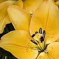 Yellow Lily by Scott Norris