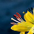 Yellow Lily Stamens by Robert Bales