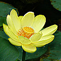 Yellow Lotus by William Tanneberger