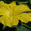 Yellow Luffa Blossom by Christiane Schulze Art And Photography