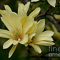 Yellow Magnolia by Living Color Photography Lorraine Lynch