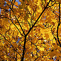 Yellow Maple 3 by Mary Bedy
