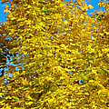 Yellow Maple by Mike Wheeler