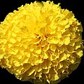 Yellow Marigold by Dan Sproul