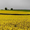 Yellow Mellow  by Svetlana Sewell