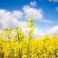 Yellow Mustard Field by Nila Newsom