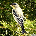Yellow N Black Finch by Bobbee Rickard