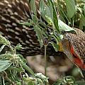 Yellow-necked Spurfowl by Ian Ashbaugh