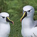 Yellow-nosed Albatross Pair Gough Island by Tui De Roy