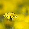 Yellow On Yellow Dandelion by Christina Rollo
