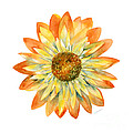 Yellow Orange Daisy by Amy Kirkpatrick