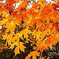 Yellow Orange Fall Tree by Terri Morris