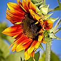 Yellow Orange Sunflower by Athena Mckinzie