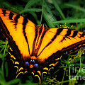 Yellow Orange Tiger Swallowtail Butterfly by Jerry Cowart