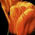 Yellow Orange Tulip by David Rosenthal