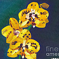 Yellow Orchids by Laura Forde