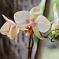 Yellow Orchids by Lorraine Baum