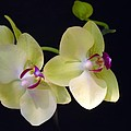 Yellow Orchids by Michelle Constantine