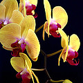 Yellow Orchids by Nathan Abbott