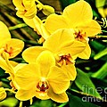 Yellow Orchids by Nick Zelinsky