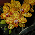 Yellow Orchids by Suzanne Gaff