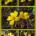 Yellow Oxalis - Oxalis Spiralis Vulcanicola by Mother Nature