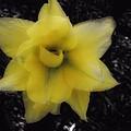 Yellow Parrot Tulip by John Feiser
