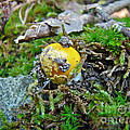 Yellow Patches Baby Mushroom - Amanita Muscaria by Mother Nature