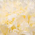 Yellow Peony Petals by Leda Robertson