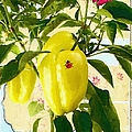 Yellow Pepper by Liane Wright