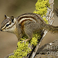 Yellow Pine Chipmunk by Sharon Ely