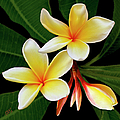 Yellow Plumeria by Ben and Raisa Gertsberg