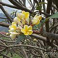 Yellow Plumeria  by Mindy Sue Werth
