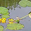 Yellow Pond Lilies On Lake Yellowhead Along Yellowhead Highway-b by Ruth Hager