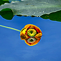 Yellow Pond Lily by Greg Norrell