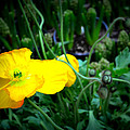 Yellow Poppy Xl Format Floral Photography by Katy Hawk