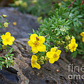 Yellow Potentilla Shrub by June Hatleberg Photography
