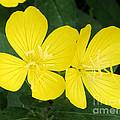 Yellow Primrose by Lori Tordsen