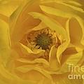 Yellow Ranunculus by Bridgette Gomes