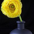 Yellow Ranunculus In Black Vase by Garry Gay