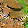 Yellow Rat Snakes by Millard H. Sharp
