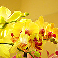 Yellow Red Orchid Flowers Art Prints Orchids by Baslee Troutman